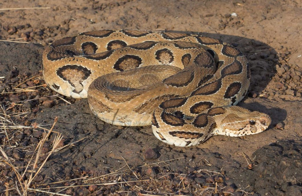 Of the 275 odd species of snakes found in India only four are viewed as a real threat to humans.