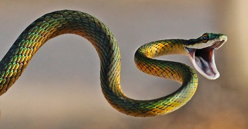 Most venomous snakes in the world