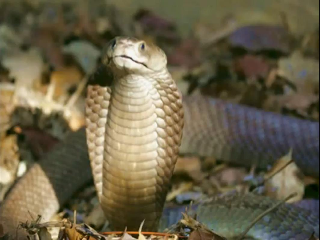 Top 10 Most Venomous Snakes on Earth
