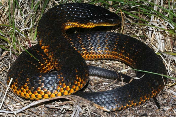 The south western tiger snake is a medium-large (maximum 1.8 metres) terrestrial elapid confined to the southern part of western W.A.