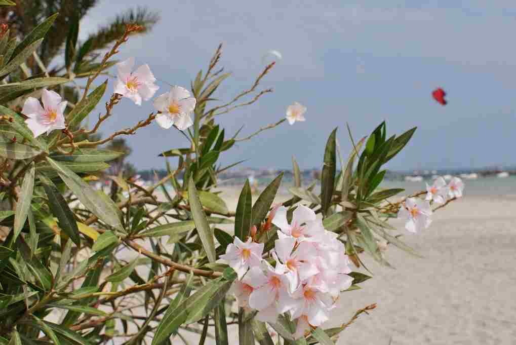 Oleander poisonous flower