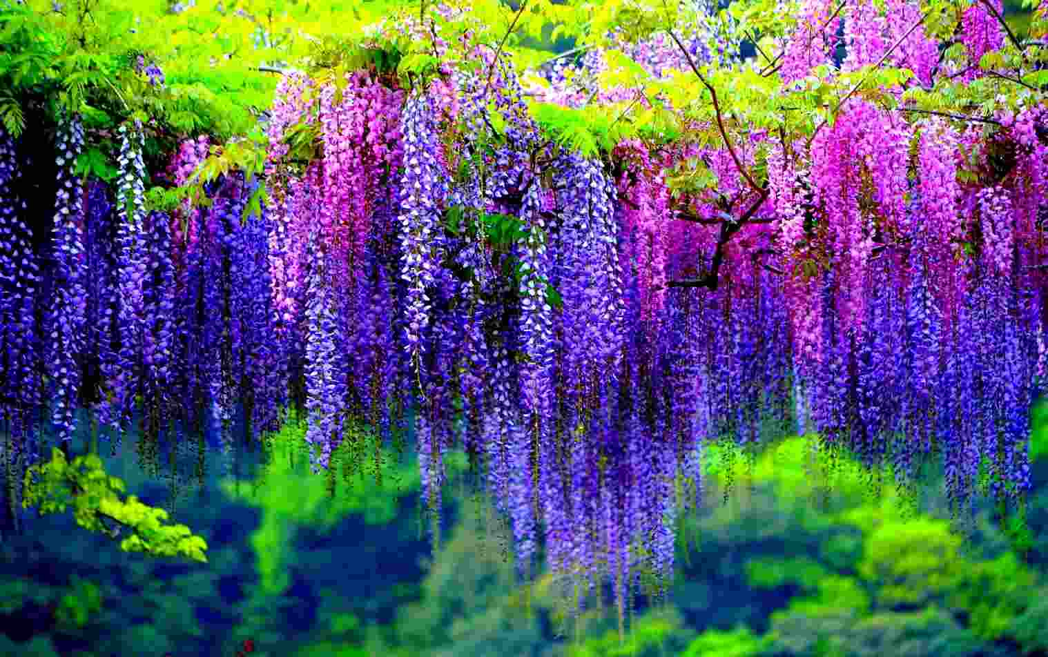 wisteria poisonous plants